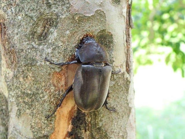 「シマトネリコ」カブトムシが集まる木の見分け方を画像で解説④