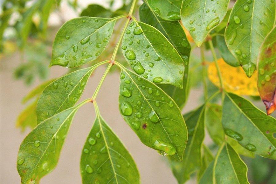 「シマトネリコ」カブトムシが集まる木の見分け方を画像で解説②