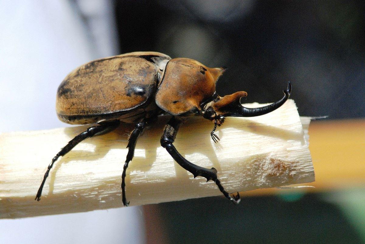 カブトムシが集まる木「シマトネリコ」ってどんな木?画像付きで見分け方を解説